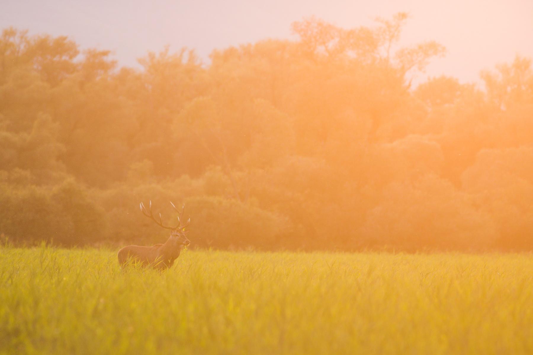 jeleň lesný (Cervus elaphus) Red deer, NPR Kláštorské lúky, Turčianska kotlina, Slovensko Canon EOS 6D mark II, Canon 400 mm f5.6 L USM, f6.3, 1/400, ISO 1000, 15. september 2019