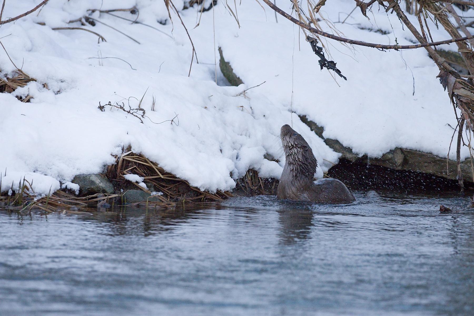 vydra riečna (Lutra lutra) Eurasian otter, rieka Turiec, Turčianska kotlina, Slovensko