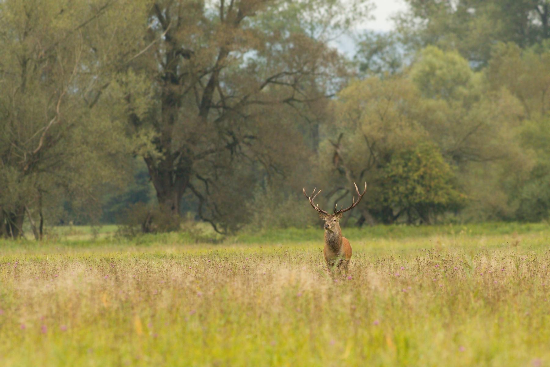 jeleň lesný (Cervus elaphus) Red deer, NPR Kláštorské lúky, Turčianska kotlina, Slovensko Canon EOS 7D mark II, Canon 300 mm f2.8 L IS USM, f4.5, 1/800, ISO 1600, 22. september 2017