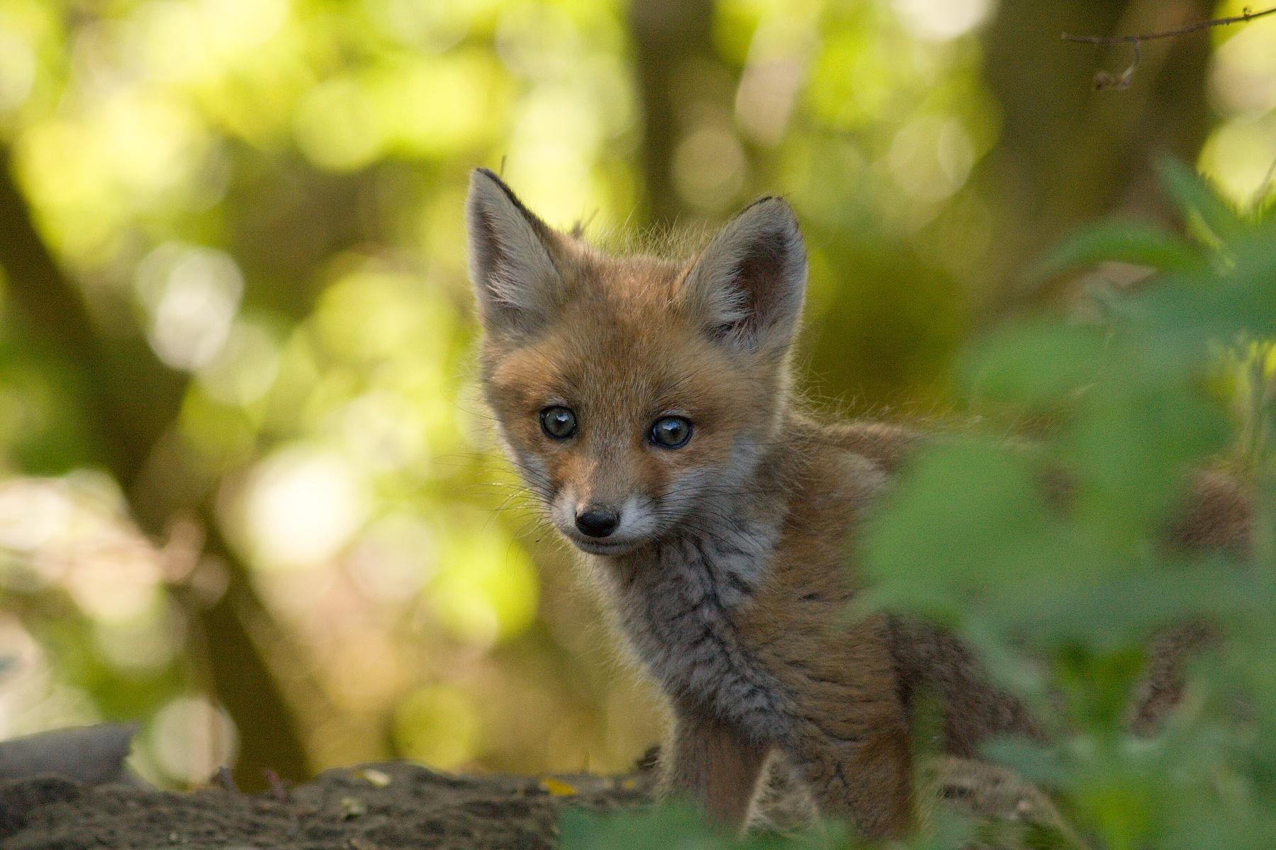 líška hrdzavá (Vulpes vulpes) Red fox, NPR Kláštorské lúky, Turčianska kotlina, Slovensko