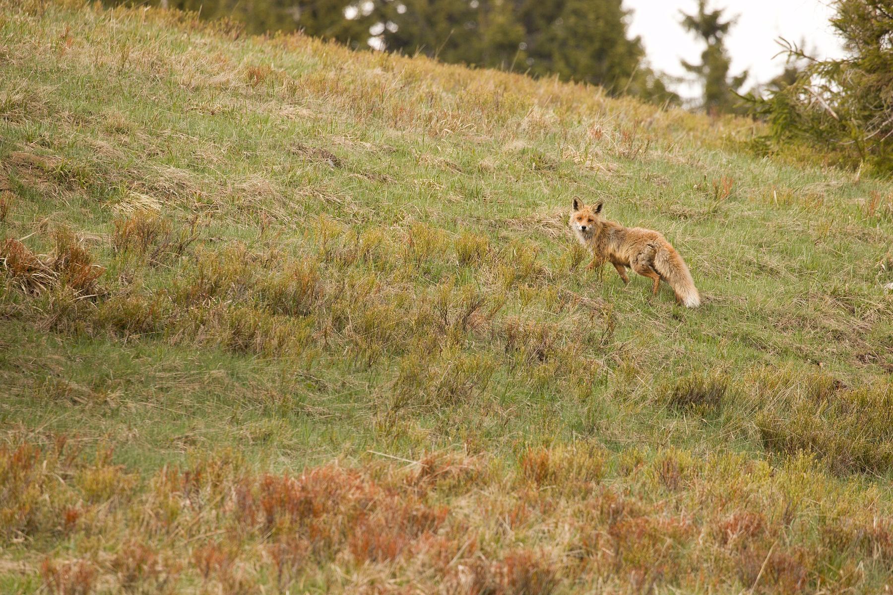 líška hrdzavá (Vulpes vulpes) Red fox, Veľká Fatra, Slovensko Canon EOS 6D mark II, Canon 100-400 mm f4.5-5.6 L IS II USM, 400 mm, f8, 1/400, ISO 640, 16. máj 2020