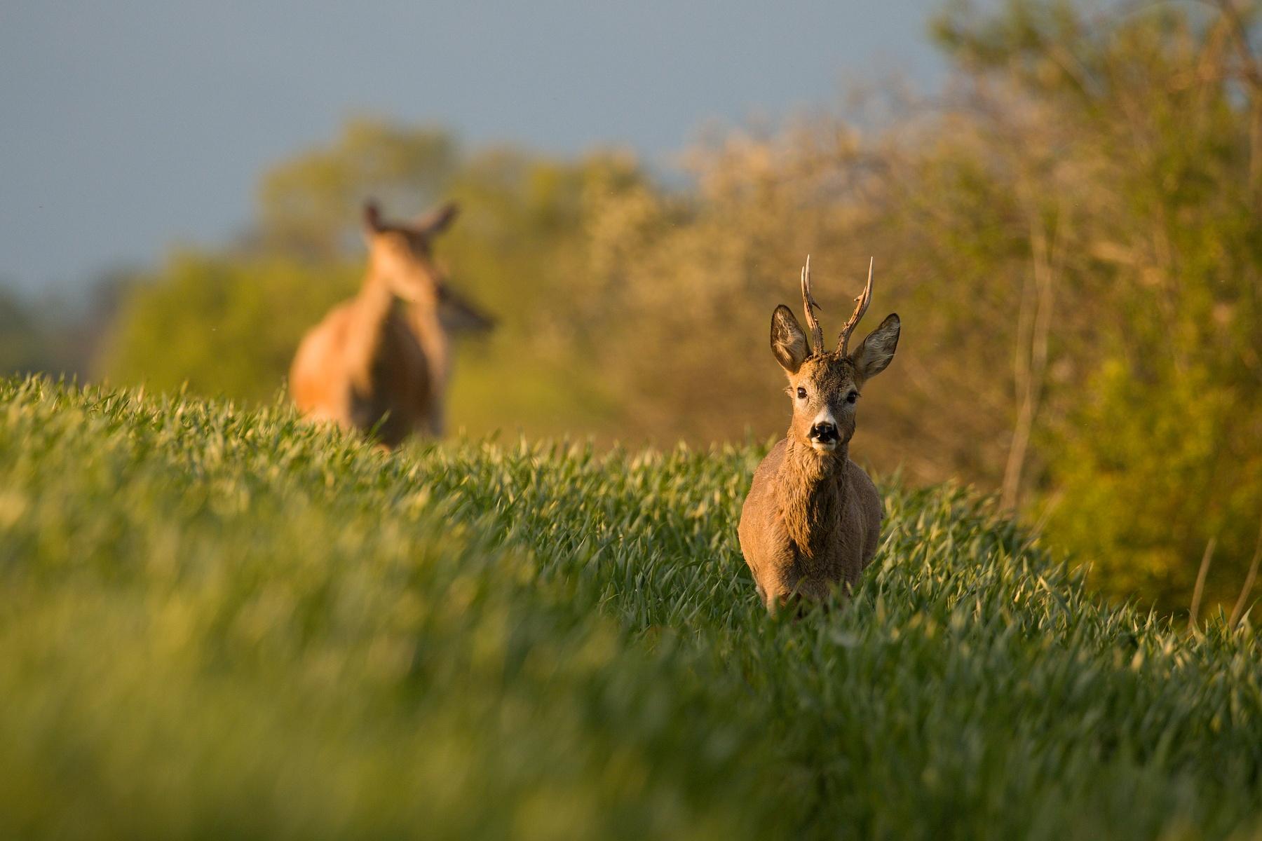 srnec lesný (Capreolus capreolus) Roe deer, Turčianska kotlina, Slovensko Canon EOS 6D mark II, Canon 100-400 mm f4.5-5.6 L IS II USM, 400 mm, f5.6, 1/400, ISO 400, 16. máj 2020