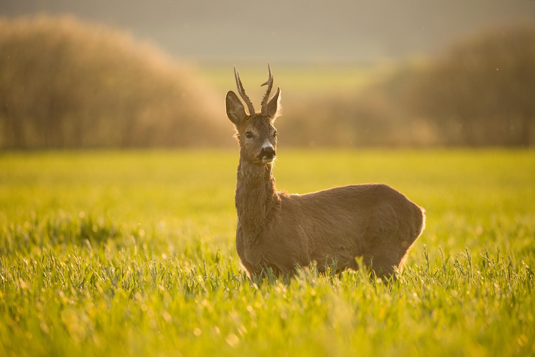 srnec lesný (Capreolus capreolus) Roe deer, Turčianska kotlina, Slovensko Canon EOS 6D mark II, Canon 100-400 mm f4.5-5.6 L IS II USM, 400 mm, f5.6, 1/500, ISO 400, 16. máj 2020