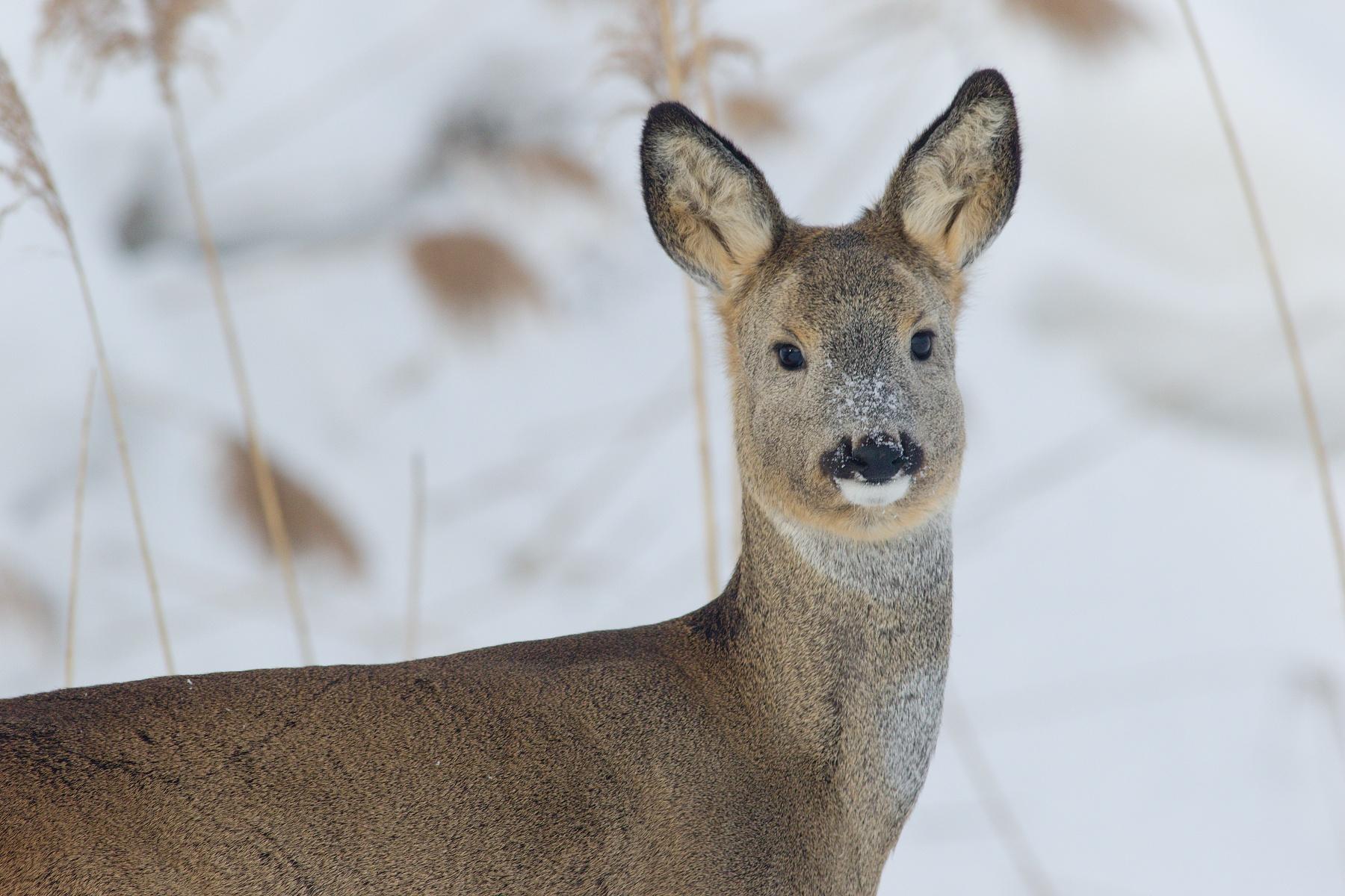 srnec lesný (Capreolus capreolus) Roe deer, NPR Kláštorské lúky, Turčianska kotlina, Slovensko