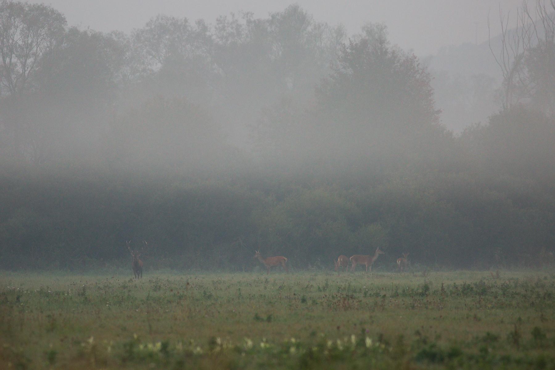 jeleň lesný (Cervus elaphus) Red deer, NPR Kláštorské lúky, Turčianska kotlina, Slovensko Canon EOS 5D mark III, Canon 400 mm f5.6 L USM, f5.6, 1/160, ISO 1250, 21. september 2018