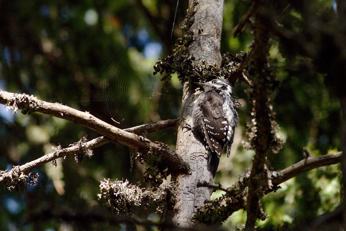 ďubník trojprstý (Picoides tridactylus) Eurasian three-toed woodpecker, Valea Arpasului, Munții Făgăraș, Romania Canon EOS 6D mark II, Canon 400 mm f5.6 L USM, f6.3, 1/800, ISO 1000, 18. august 2019