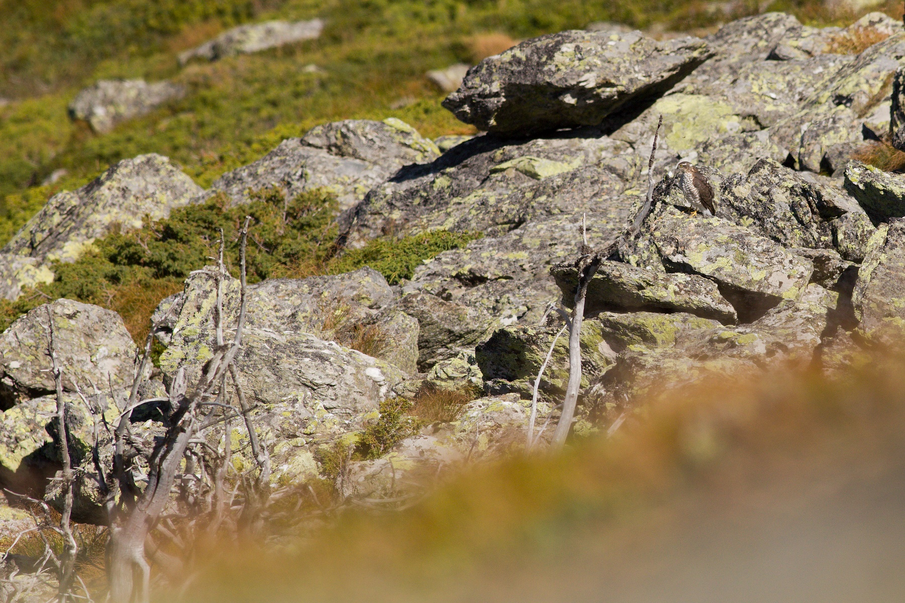 jastrab krahulec (Accipiter nisus) Eurasian sparrowhawk, Boia Mică, Munții Făgăraș, Romania Canon EOS 6D mark II, Canon 400 mm f5.6 L USM, f7.1, 1/3200, ISO 640, 10. august 2019