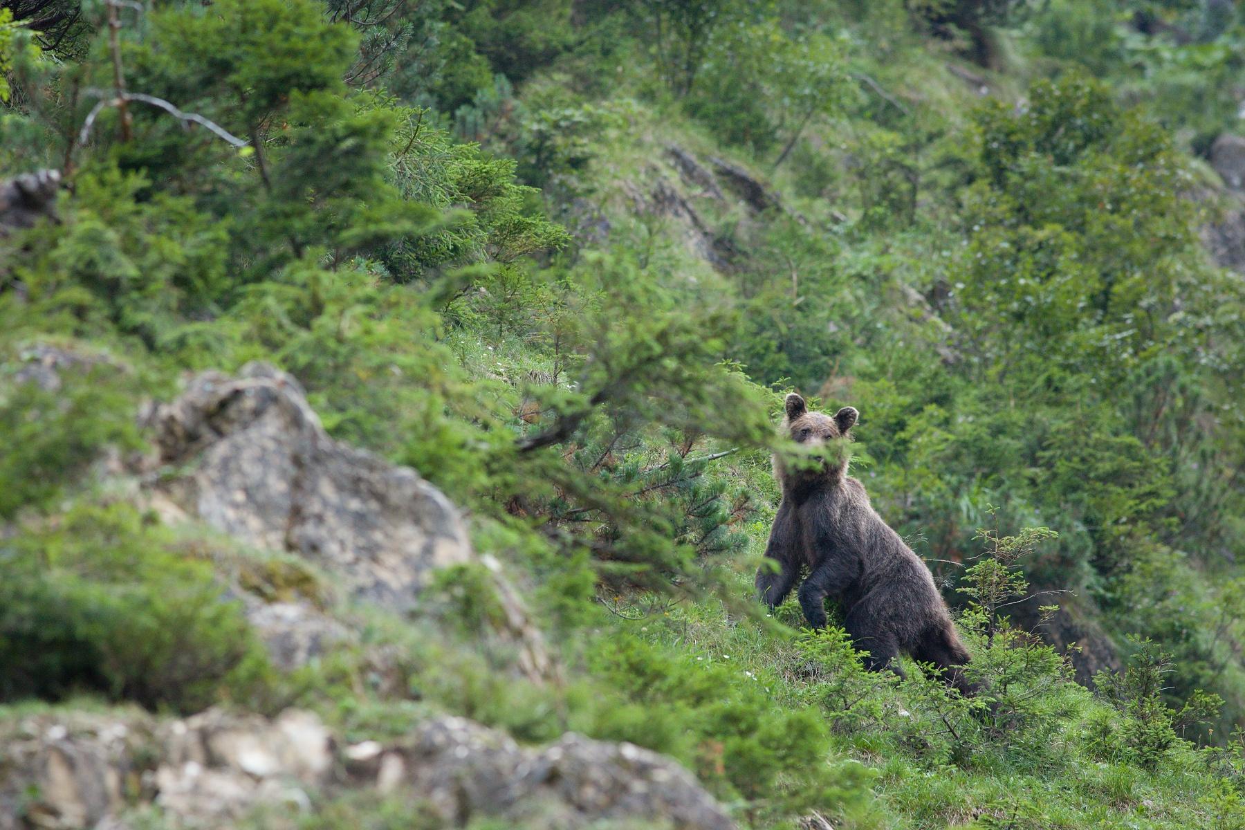 medveď hnedý (Ursus arctos) Brown bear, Valea Arpasului, Munții Făgăraș, Romania Canon EOS 5D mark III, Canon 400 mm f5.6 L USM, f6.3, 1/125, ISO 2000, 31. august 2018