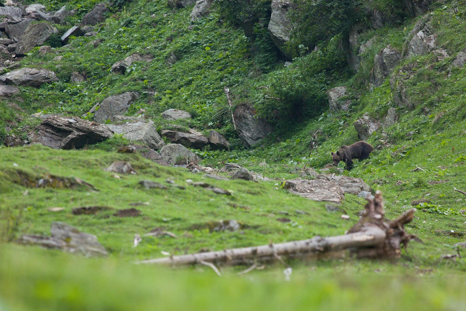 medveď hnedý (Ursus arctos) Brown bear, Valea Arpasului, Munții Făgăraș, Romania Canon EOS 5D mark III, Canon 400 mm f5.6 L USM, f6.3, 1/200, ISO 1600, 31. august 2018