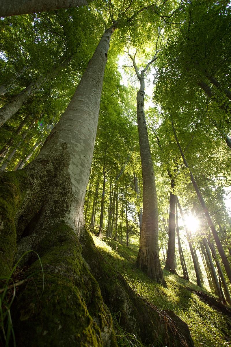 primeval beech forest, Boia Mică, Munții Făgăraș, Romania Canon EOS 6D mark II, Canon 17-40 mm, 17 mm, f5, 1_60, ISO 640, 6. august 2019