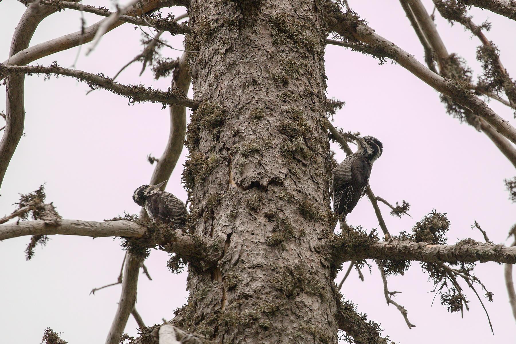 ďubník trojprstý (Picoides tridactylus) Three-toed woodpecker, Kôprová dolina, Slovensko