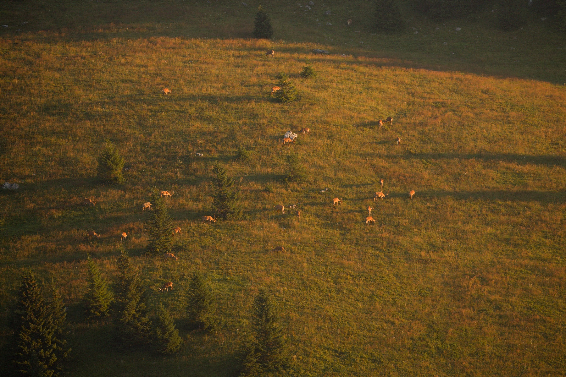 jeleň lesný (Cervus elaphus) Red deer, Veľká Fatra, Slovensko (1)