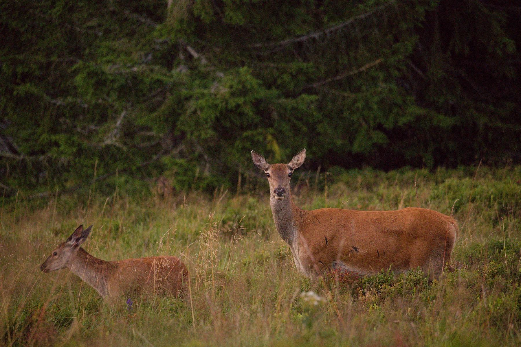 jeleň lesný (Cervus elaphus) Red deer, Veľká Fatra, Slovensko (4)