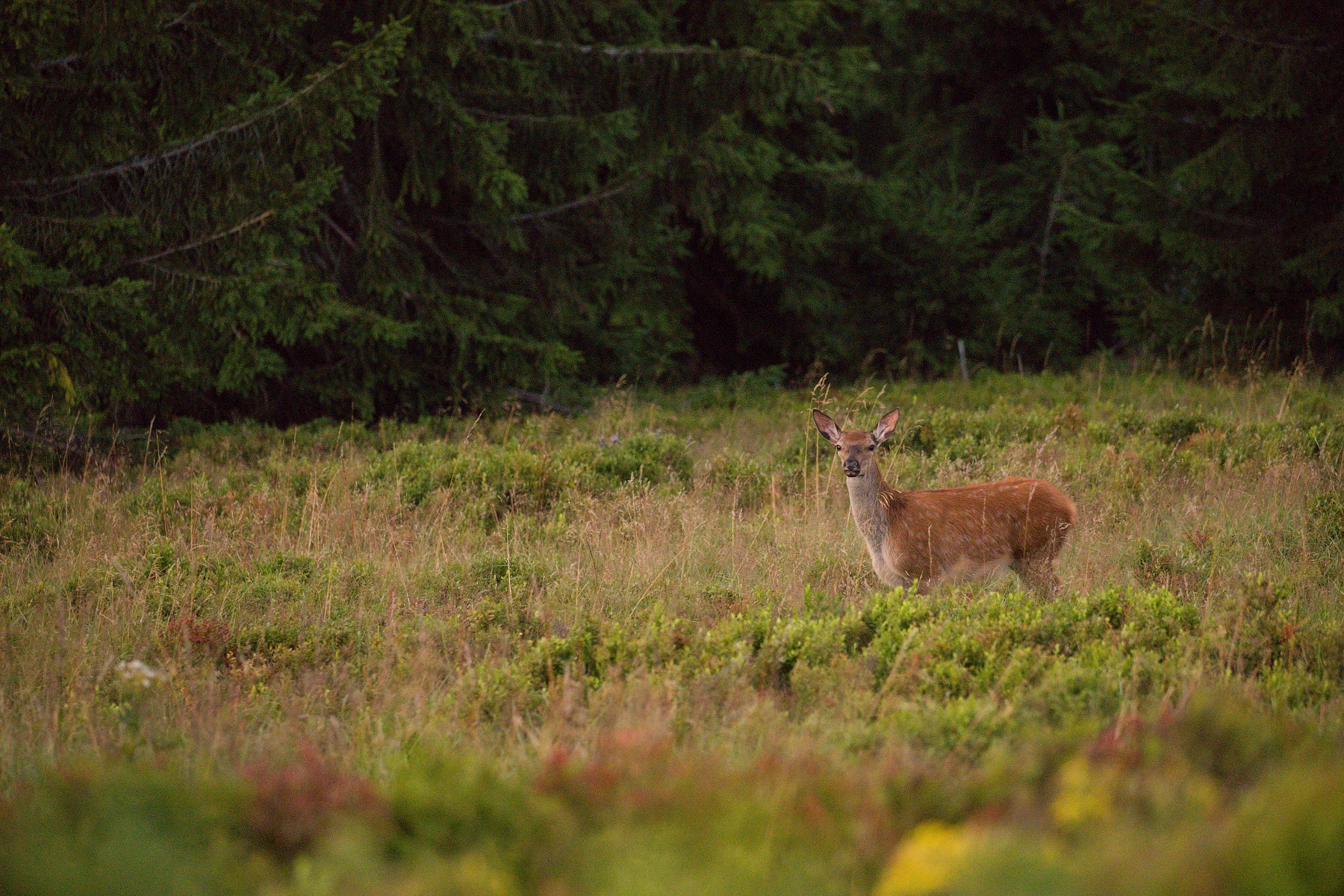 jeleň lesný (Cervus elaphus) Red deer, Veľká Fatra, Slovensko (5)