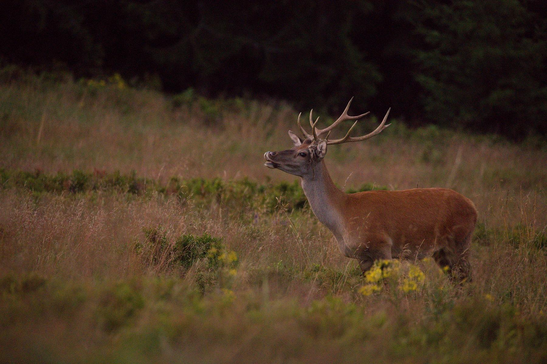 jeleň lesný (Cervus elaphus) Red deer, Veľká Fatra, Slovensko (6)