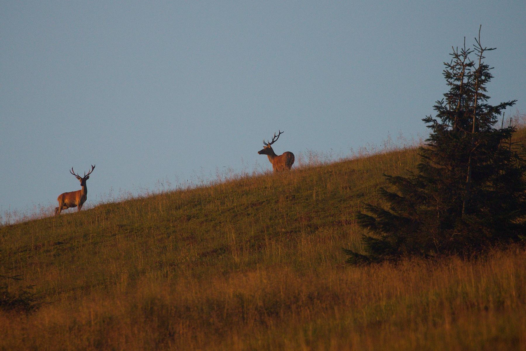jeleň lesný (Cervus elaphus) Red deer, Veľká Fatra, Slovensko (7)