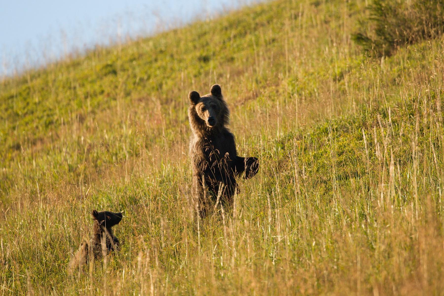 medveď hnedý (Ursus arctos) Brown bear, Veľká Fatra, Slovensko (2)
