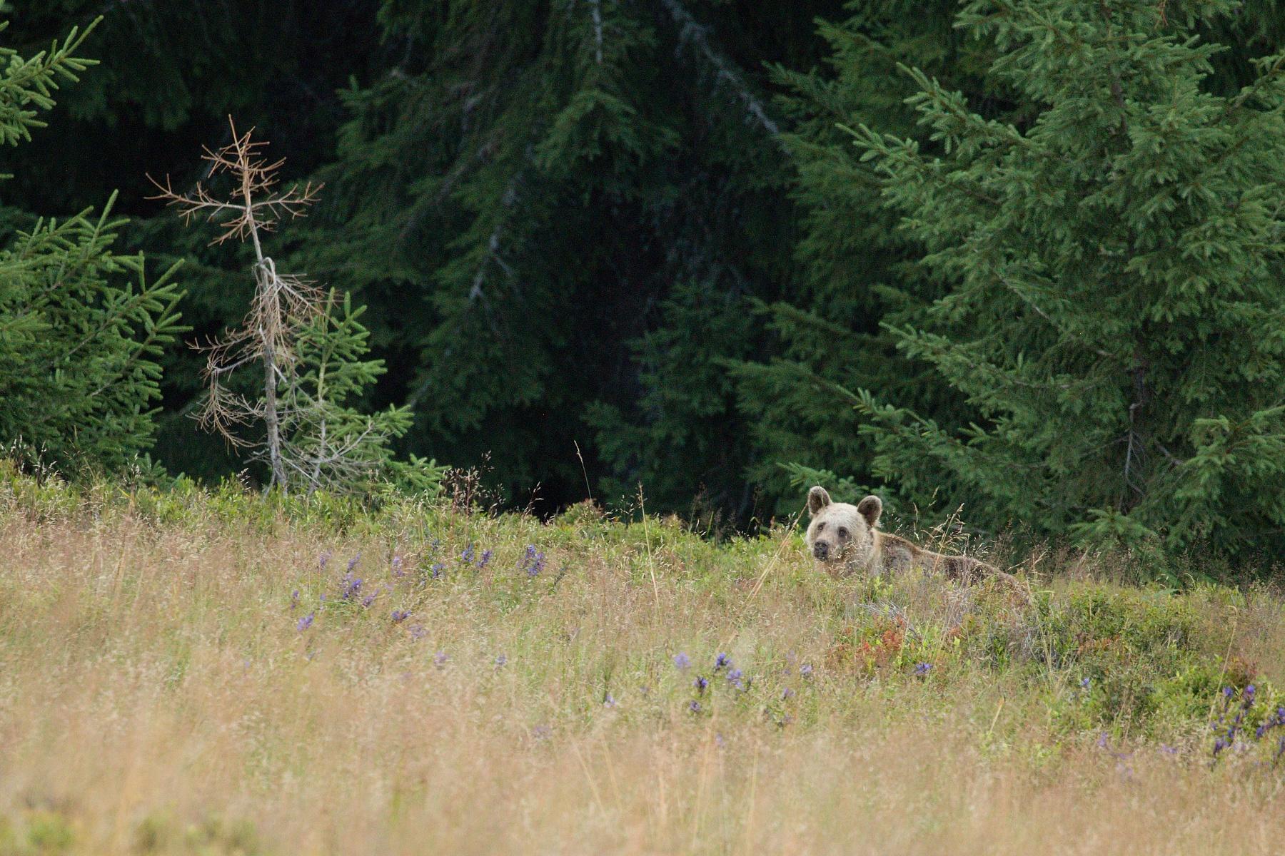 medveď hnedý (Ursus arctos) Brown bear, Veľká Fatra, Slovensko