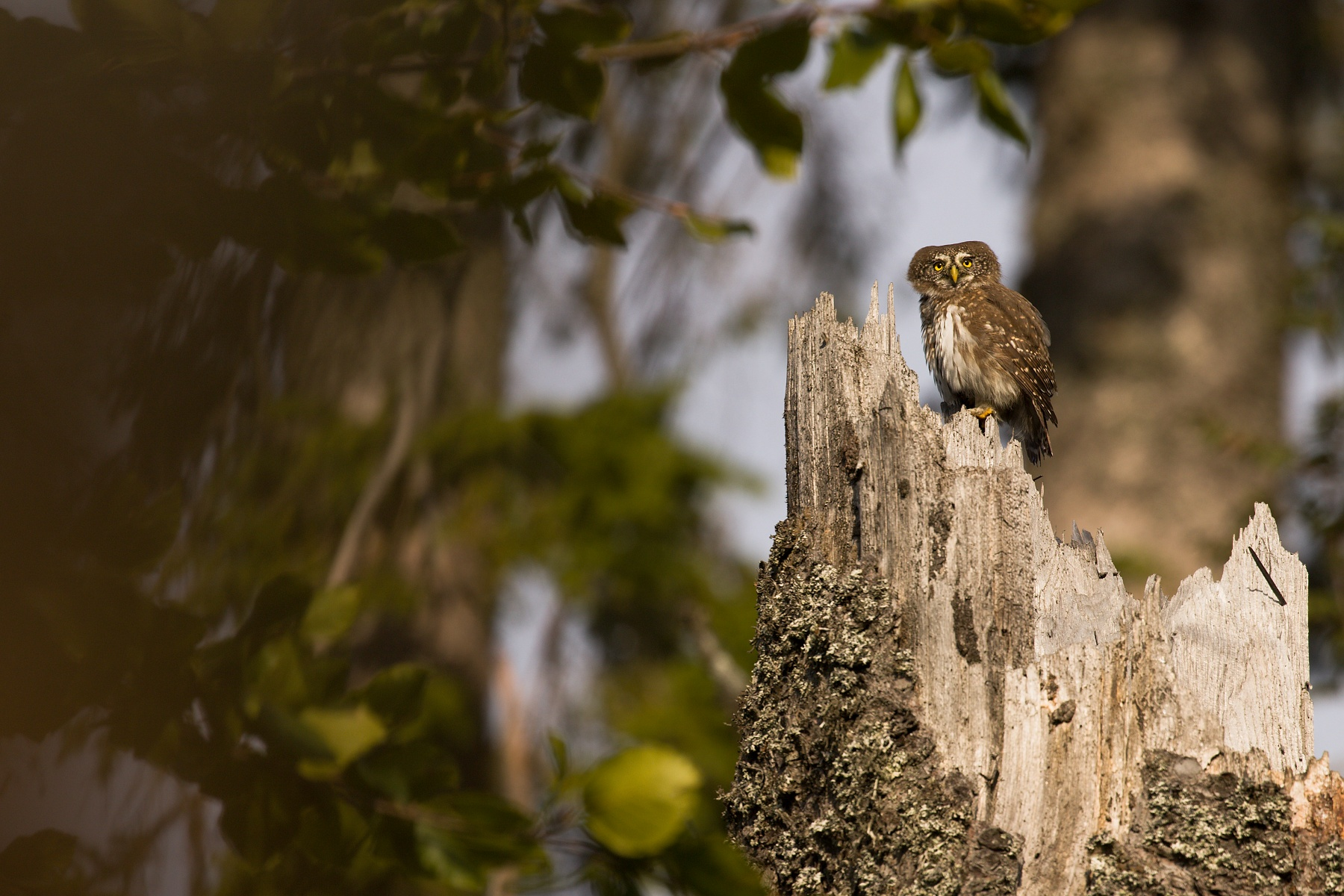 kuvičok vrabčí (Glaucidium passerinum) Pygmy owl, Muránska planina, Slovensko