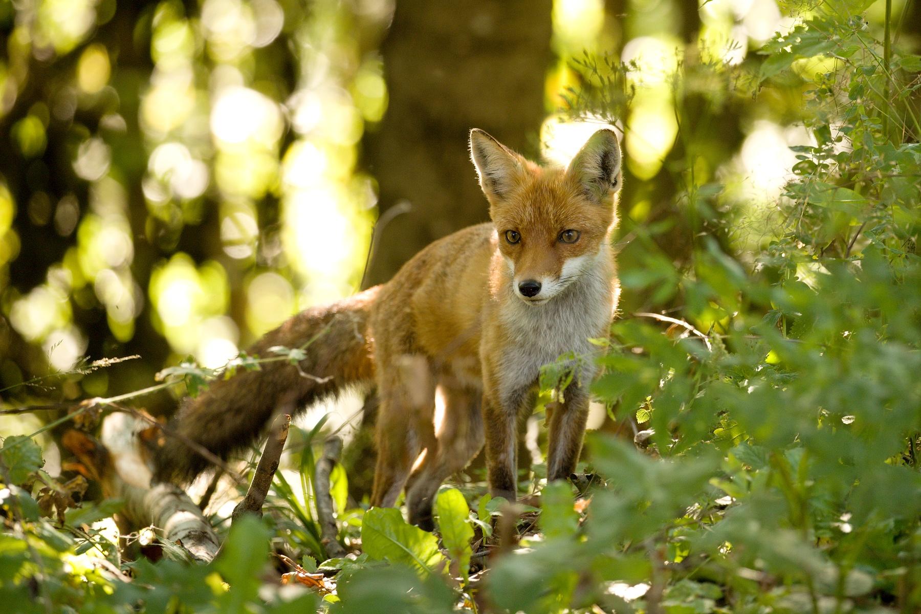líška hrdzavá (Vulpes vulpes) Red fox, Muránska planina, Slovensko