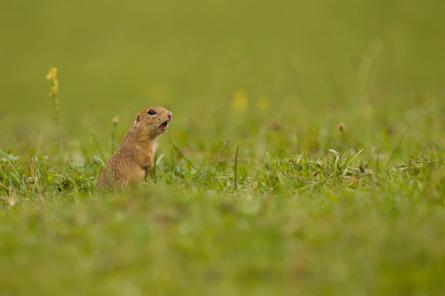 syseľ pasienkový (Spermophilus citellus) European ground squirrel, Muránska planina, Slovensko Canon EOS 6D mark II, Canon 100-400mm, f4.5-5.6 L IS II USM, 400 mm, 1/320, f7.1, ISO 640, 11. september 2020
