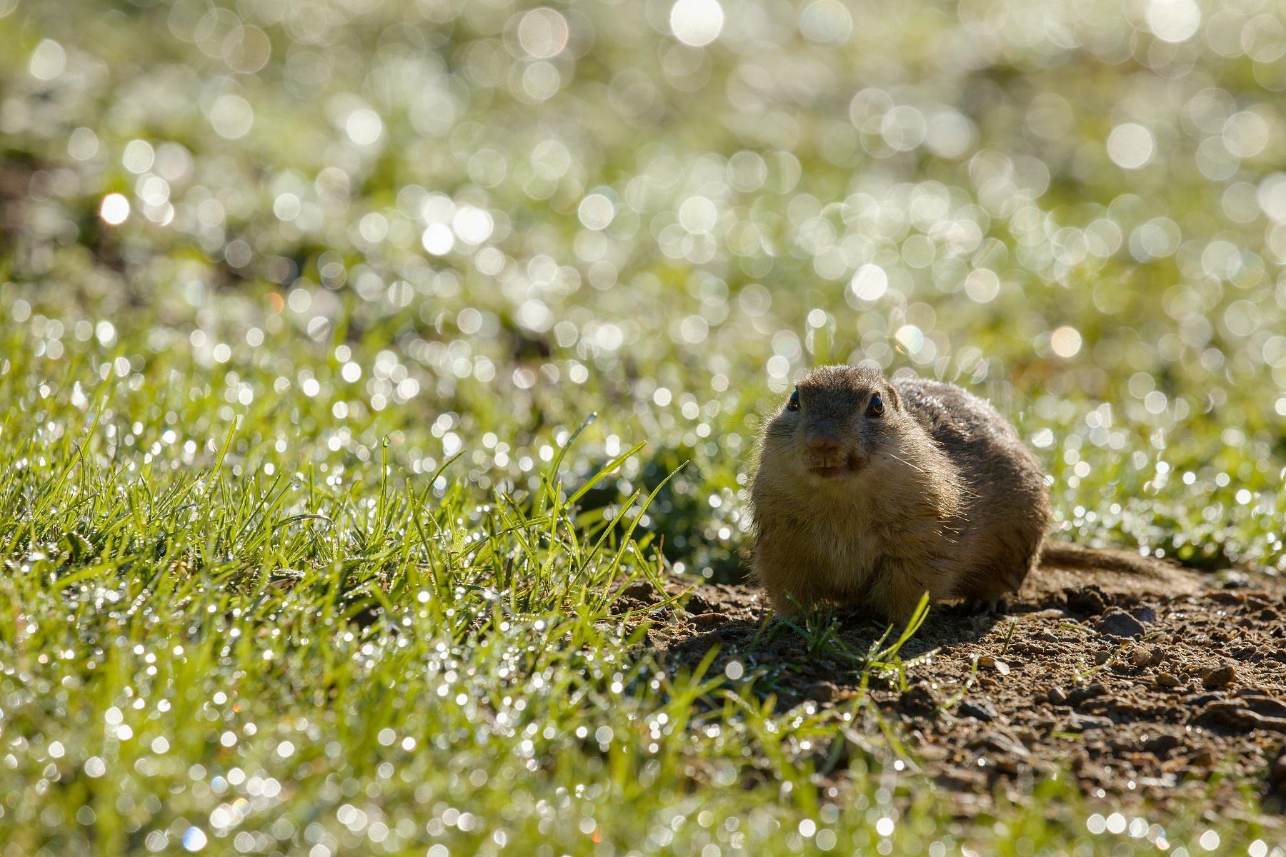 syseľ pasienkový (Spermophilus citellus) European ground squirrel, Muránska planina, Slovensko1