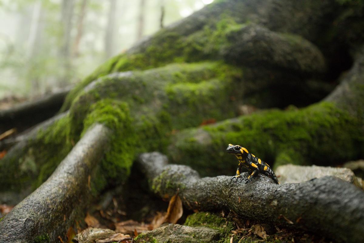 salamandra škvrnitá (Salamandra salamandra), Criva valley, Munții Maramureșului, Romania Canon EOS 6d mark II + Canon 17-40mm, 40mm, 1/20, f4.5, ISO 2500, 1. október 2020