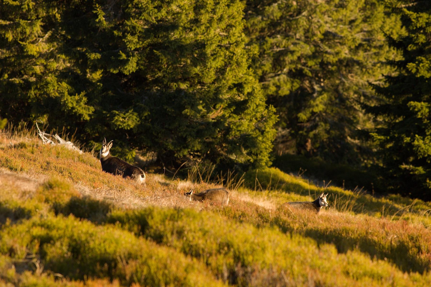 kamzík vrchovský alpský (Rupicapra rupicapra rupicapra) Alpine chamois, Hrubý Jeseník, CHKO Jeseníky, Česká republika Canon EOS 5d mark III, Canon 400mm f5.6 L USM, f7.1, 1/500, ISO 640, 17. november 2018