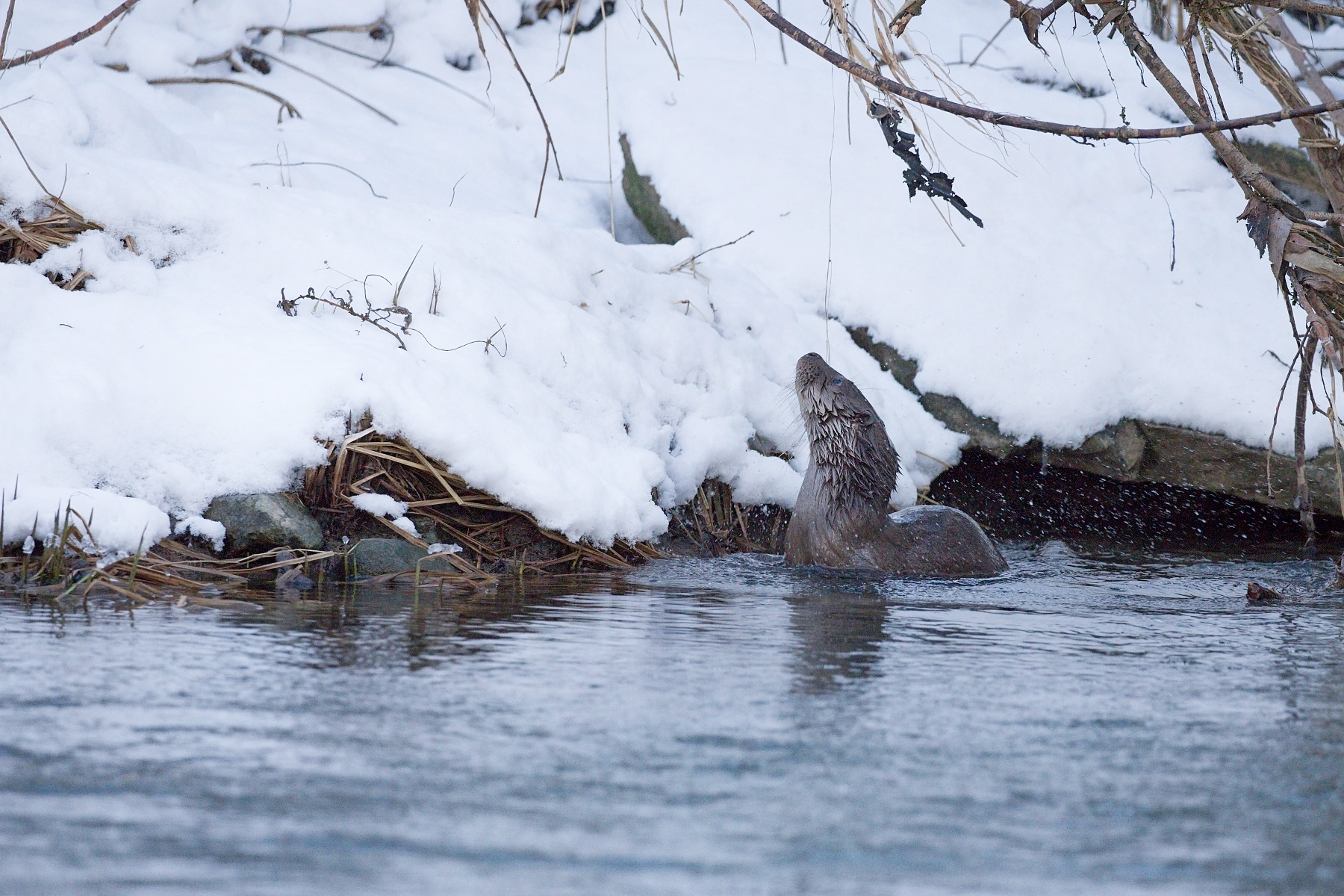 vydra riečna (Lutra lutra) Eurasian otter, Turčianska kotlina, Slovensko Canon EOS 6D mark II, Canon 100-400 mm f4.5-5.6 L IS II USM, 286 mm, f5, 1/640, ISO 1600, 5. január 2020