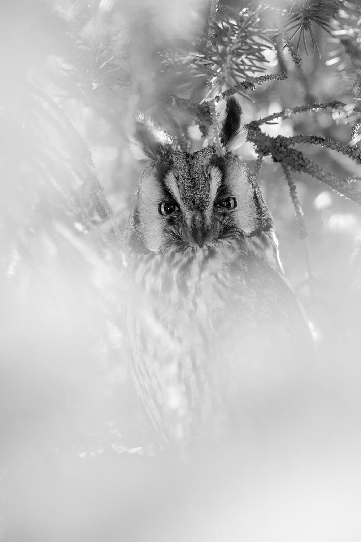 myšiarka ušatá (Asio otus) Long-eared owl, Južná Morava, Česká republika Canon EOS 6D mark II, Canon 100-400 mm f4.5-5.6 L IS II USM, 400 mm, f6.3, 1/50, ISO 1000, 24. február 2020