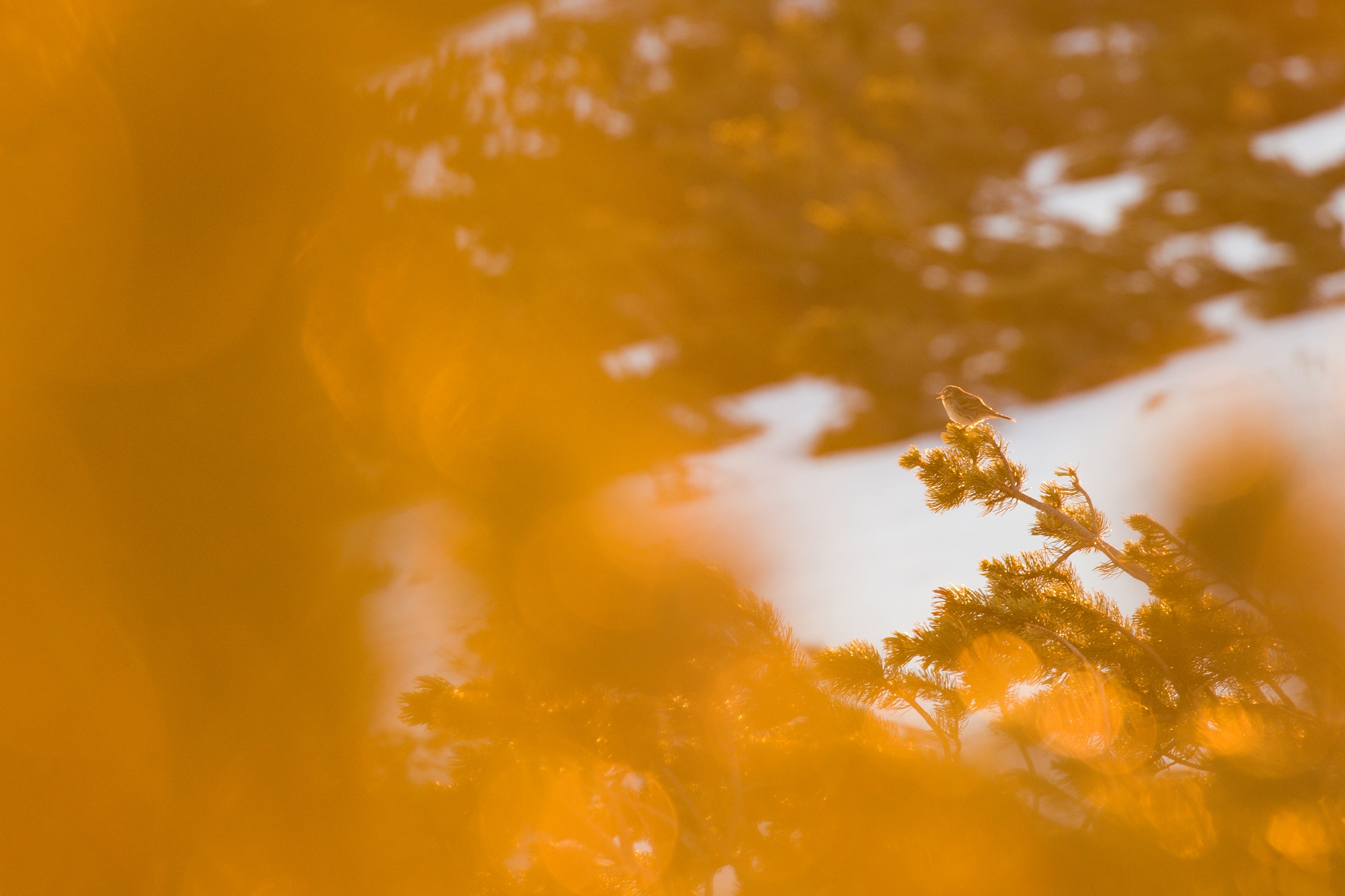 labťuška hôrna (Anthus trivialis) Tree pipit, Západné Tatry, Slovensko Canon EOS 6D mark II, Canon 100-400 mm f4.5-5.6 L IS II USM, 400 mm, f7.1, 1/100, ISO 400, 22. apríl 2020