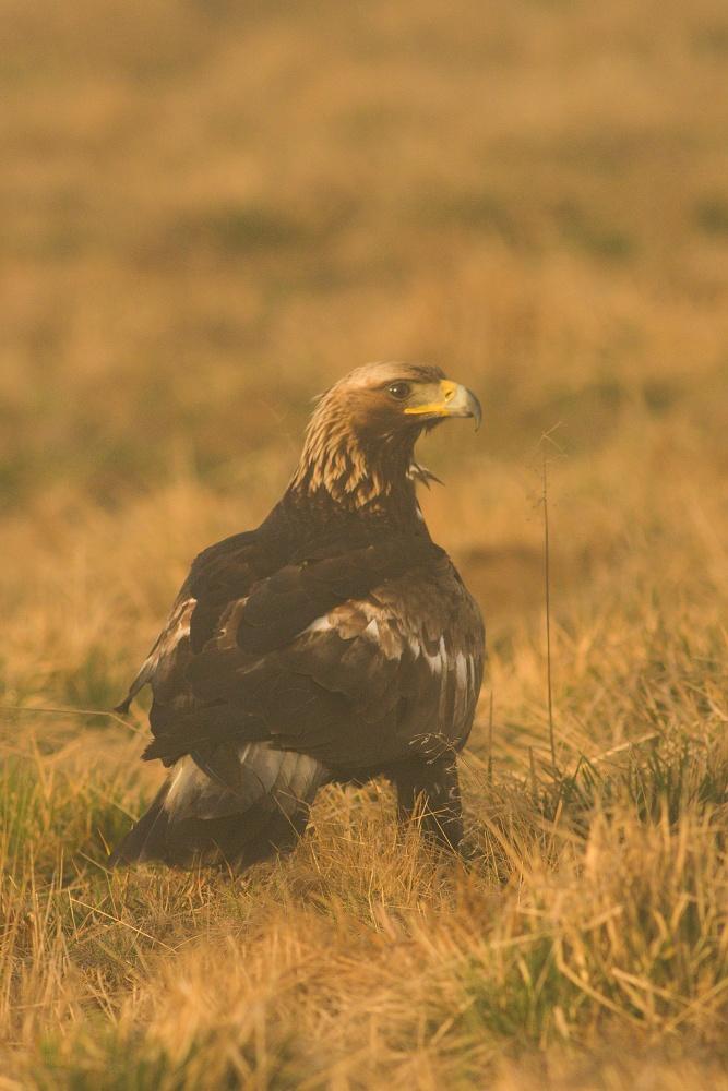 orol skalný (Aquila chrysaetos) Golden eagle, Liptov, Slovensko Canon EOS 7d mark II, Canon 400 mm f5.6 L USM, f7.1, 1/500, ISO 500, 28. apríl 2018