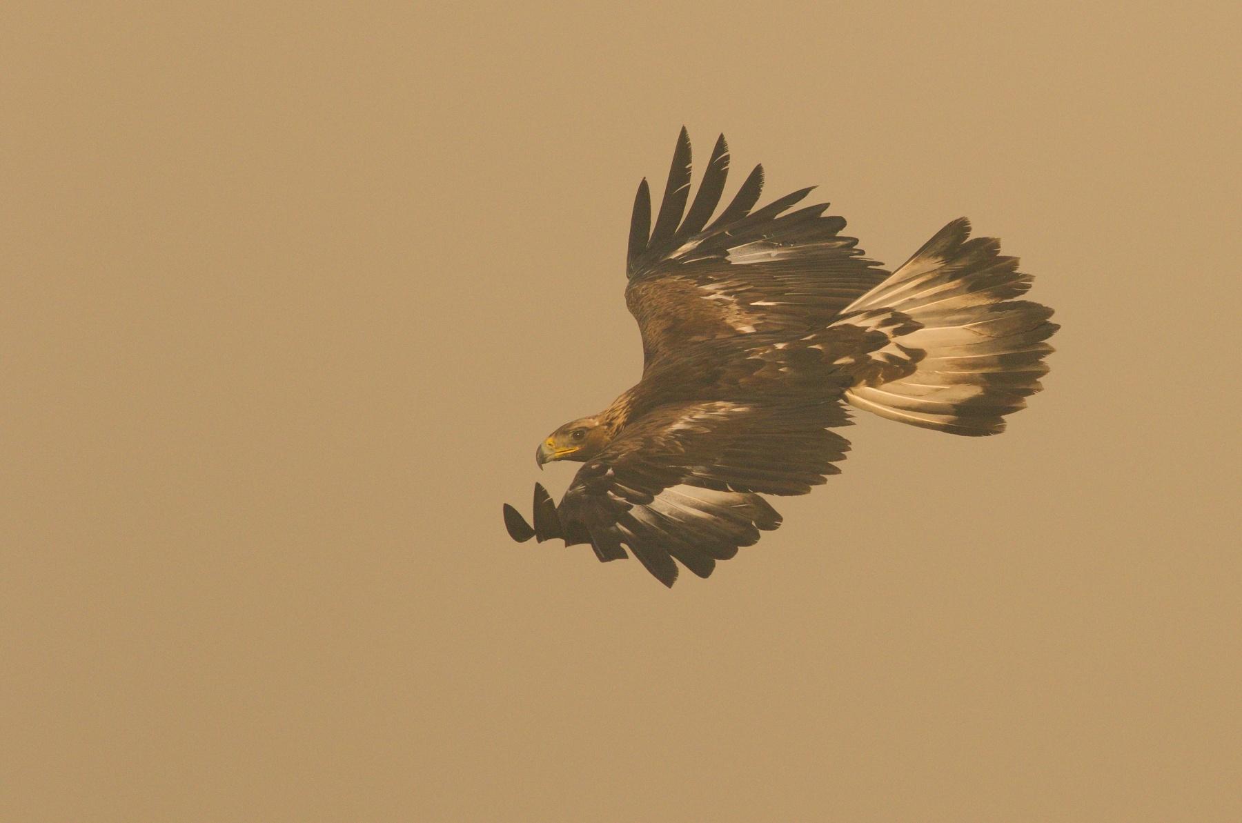 orol skalný (Aquila chrysaetos) Golden eagle, Liptov, Slovensko Canon EOS 7d mark II, Canon 400 mm f5.6 L USM, f7.1, 1/2000, ISO 500, 28. apríl 2018